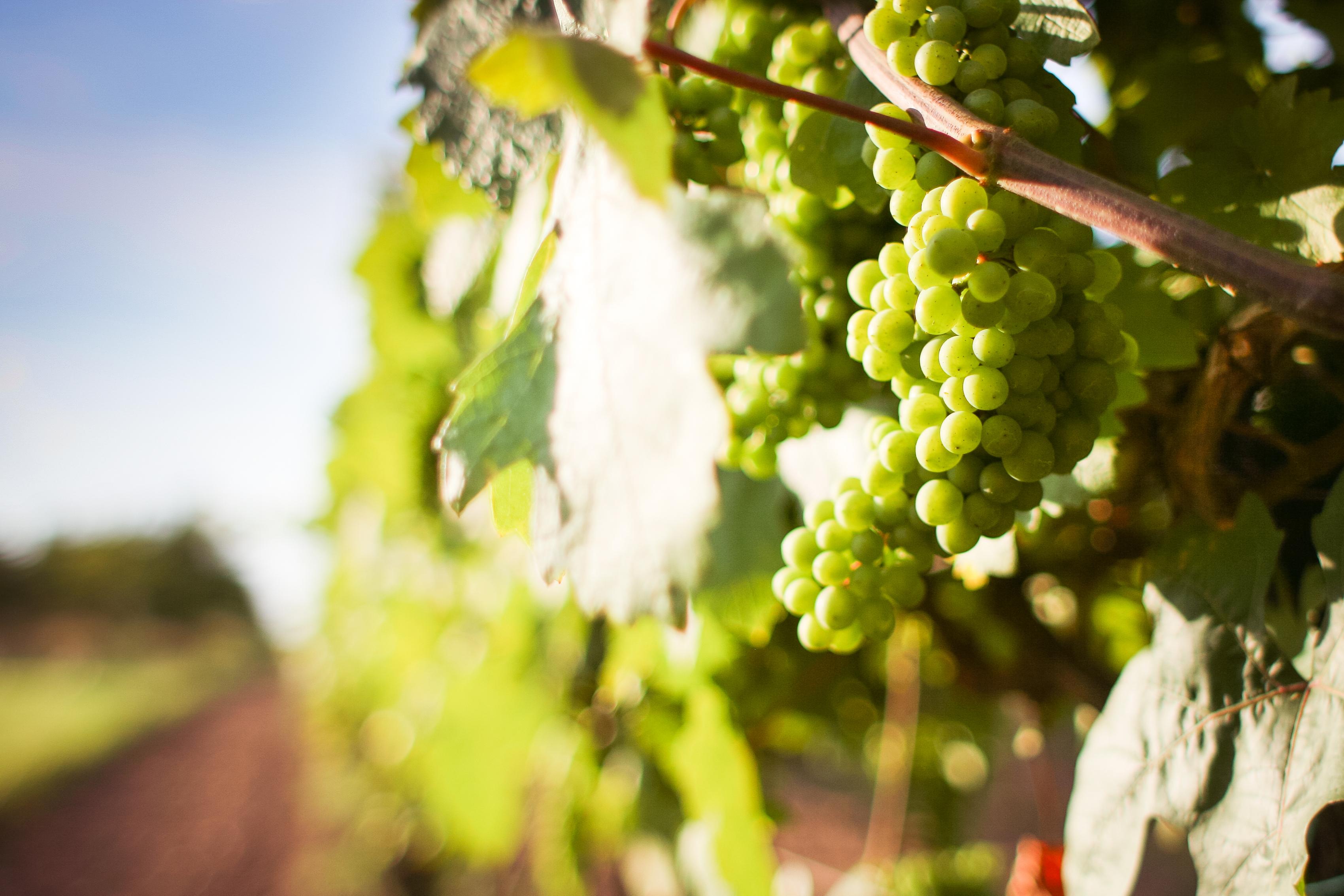 grapevine-with-detail-of-grapes-picjumbo-com.jpg